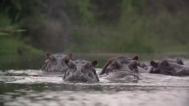 Watch and share Hippo Snort GIFs by Londolozi Game Reserve on Gfycat