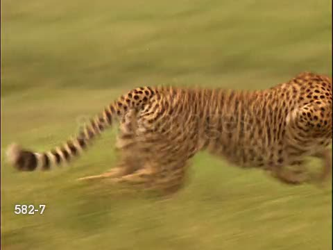 Cheetah goes Ultra Instinct and takes down a Gazelle GIFs