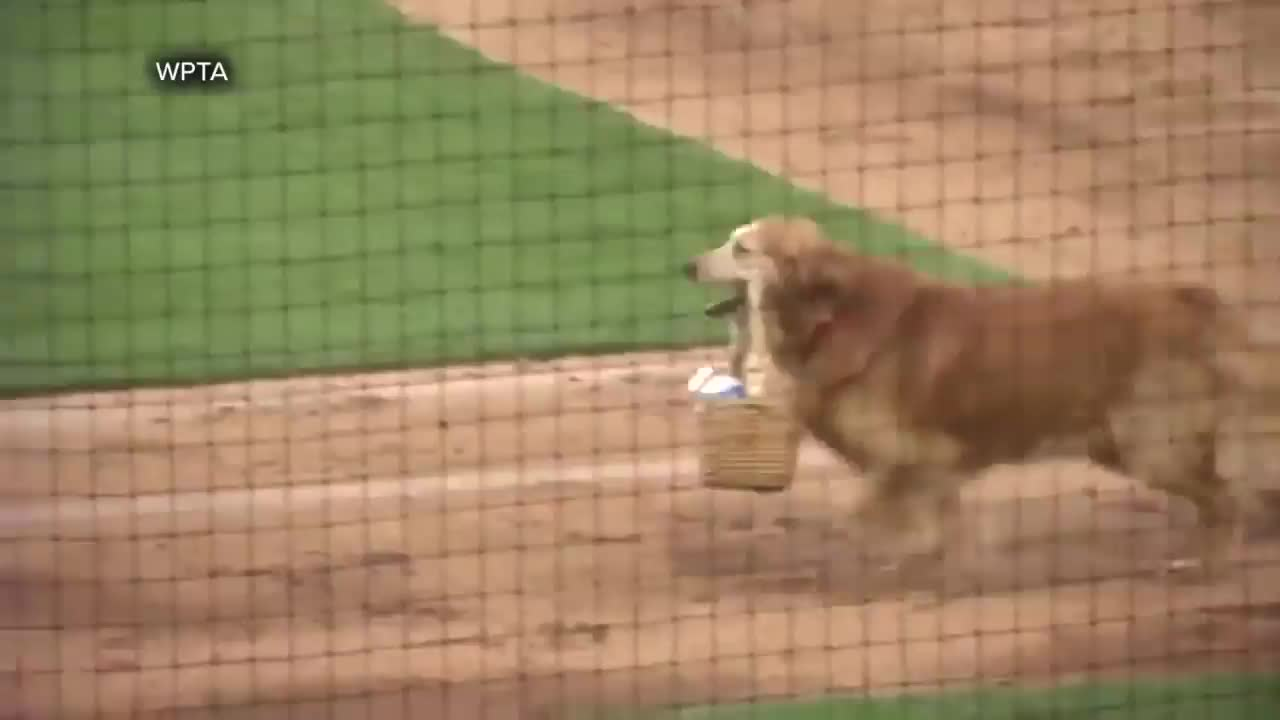 baseball, dog, Jake the diamond dog delivering waters to umpires GIFs