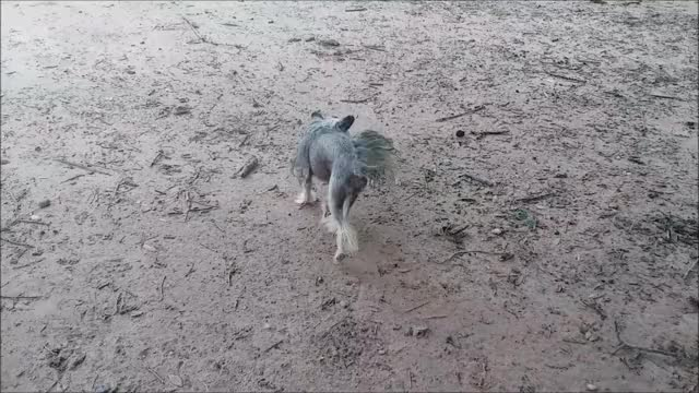 Watch and share Chinese Crested GIFs and Knsfarm GIFs by KNS Farm on Gfycat