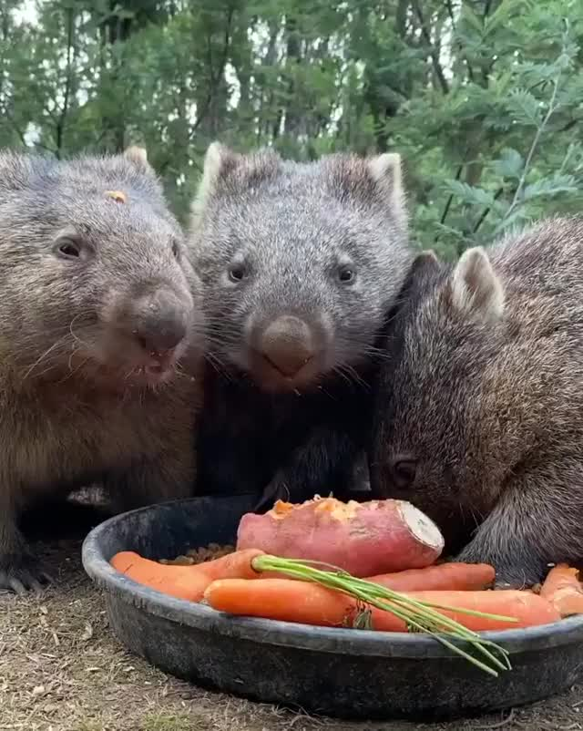Watch and share Wombats-having-nice-feast GIFs by civa__ on Gfycat