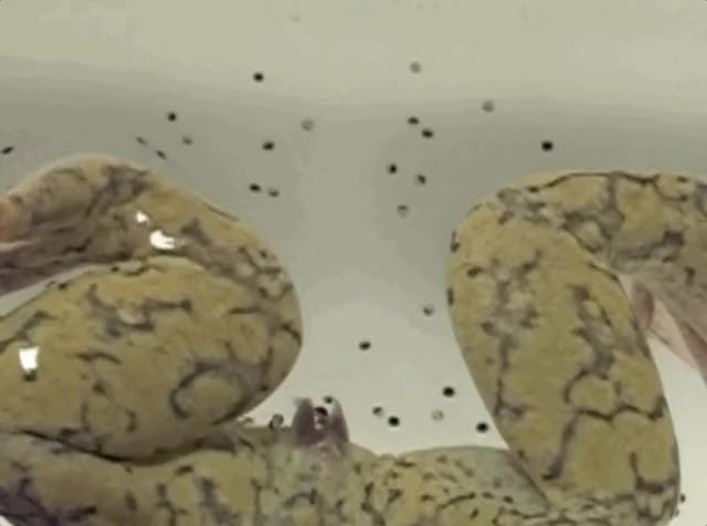 Watch and share Xenopus GIFs and Frogs GIFs by Dave Mosher on Gfycat