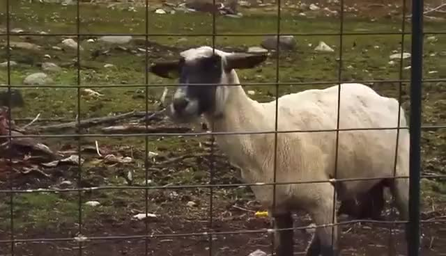 Watch and share Goat Screaming GIFs on Gfycat