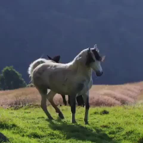 Watch this animal GIF by @alicefromairconsole on Gfycat. Discover more I heart Horses, animal, animals, horse, horses, i heart horses GIFs on Gfycat