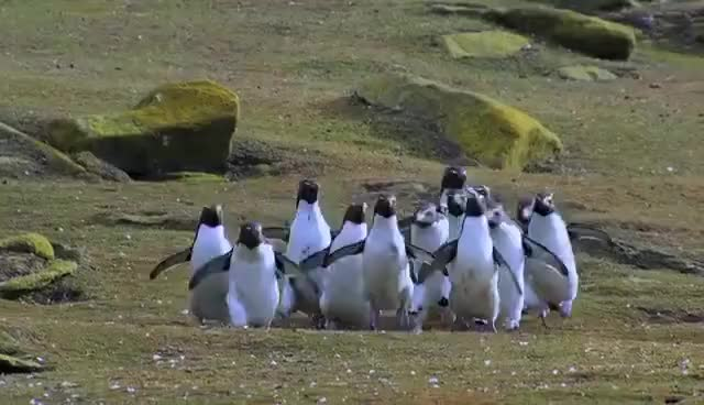 Watch and share Penguin Fail - Best Bloopers From Penguins Spy In The Huddle (Waddle All The Way) GIFs on Gfycat