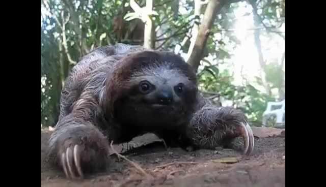 Watch this sloth GIF on Gfycat. Discover more attack, sloth GIFs on Gfycat
