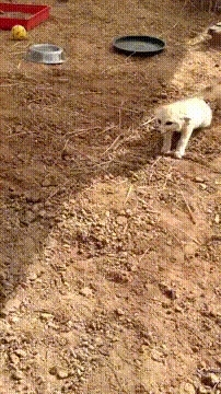 aww_gifs, catreactiongifs, foxes, International Primate Rescue - Fennec Fox reunited with his best friend William GIFs