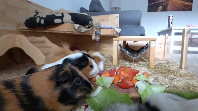 Watch Daily Guinea Pig Routine GIF by @cxnnor_ on Gfycat. Discover more cage, cavy, corning, cute, funny, guinea, pig, pop, popcorning, tour GIFs on Gfycat