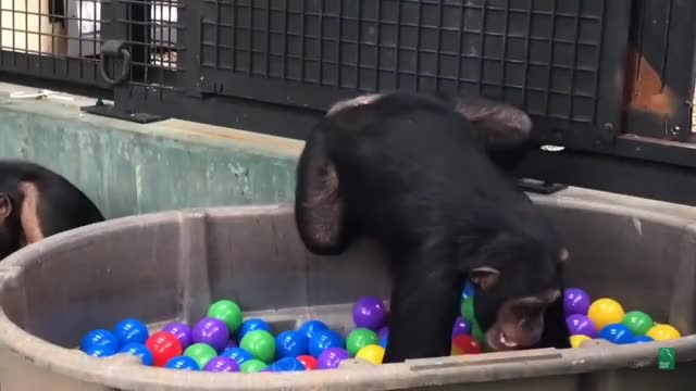 Watch and share Chimpanzees GIFs and Crueltyfree GIFs on Gfycat