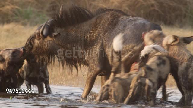 Wildebeest getting eaten from 2 different directions GIFs