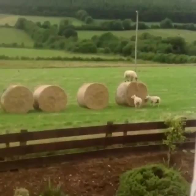 Watch and share Sheep GIFs by teistom on Gfycat