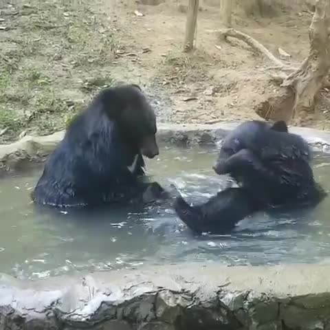 Free the Bears, FreetheBears, laos, luangprabang, moonbear, rescue, sanctuary, Tracey Louise and Ratty at the Tat Kuang Si Bear Rescue Centre, Laos. GIFs