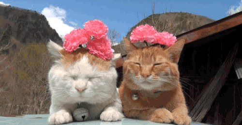 cat, flower, flowers, headband, kitten, kitty, pet, pink, siesta, sleep, sleepy, sun, tan, tanning, tired, Cat with flowers GIFs