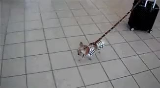 Watch and share Dog On Leash Pulling Luggage GIFs on Gfycat