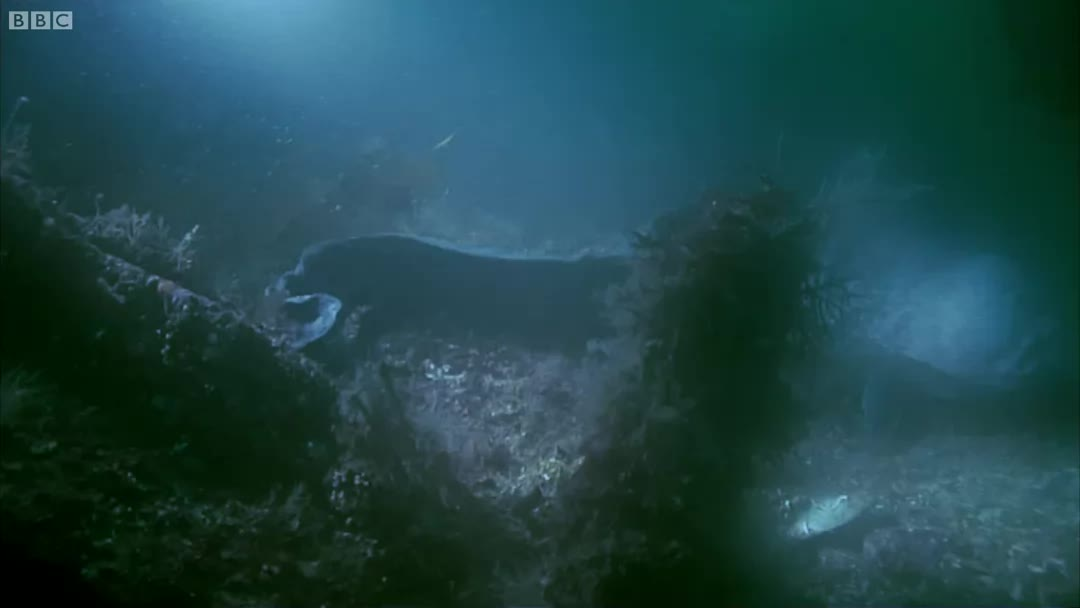 OceanGifs, TheDepthsBelow, gif, 🔥The Curious North Pacific Wolf Eel🔥 (reddit) GIFs