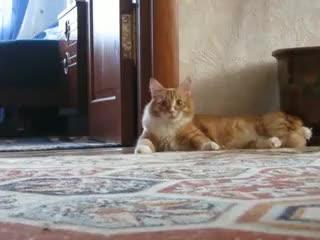 Watch Frankenstein Cat GIF on Gfycat. Discover more cat, frankenstein, walk, weird GIFs on Gfycat