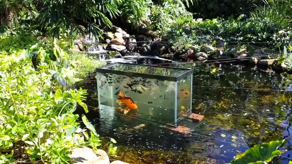 Watch Goldfish exploring GIF by @caldini on Gfycat. Discover more Aquariums, aquariums GIFs on Gfycat