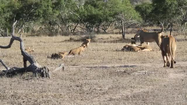 Watch and share Mhangeni With Cubs 2013 GIFs by Londolozi Game Reserve on Gfycat
