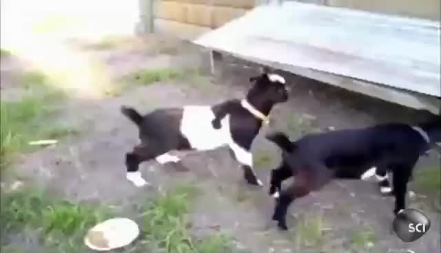 #goats are the best, fainting goats GIFs