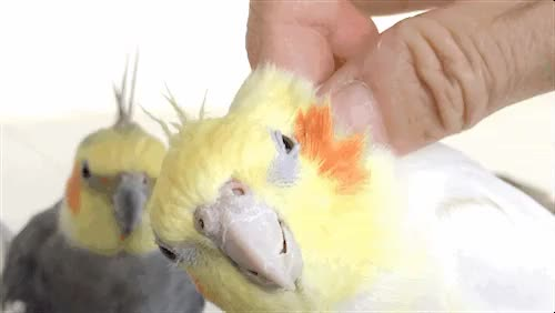Watch and share Head Scratches GIFs and Cockatiel GIFs on Gfycat