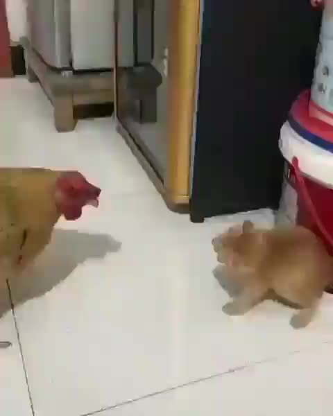 Kitten attempting to intimidate a rooster GIFs