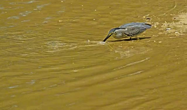Watch and share Striated Heron Catching Fish GIFs on Gfycat