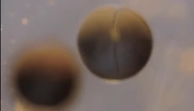 Watch and share Cell Division Time Lapse GIFs on Gfycat