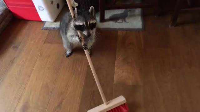 Watch this racoon GIF by @txerri_boy on Gfycat. Discover more clean, racoon GIFs on Gfycat
