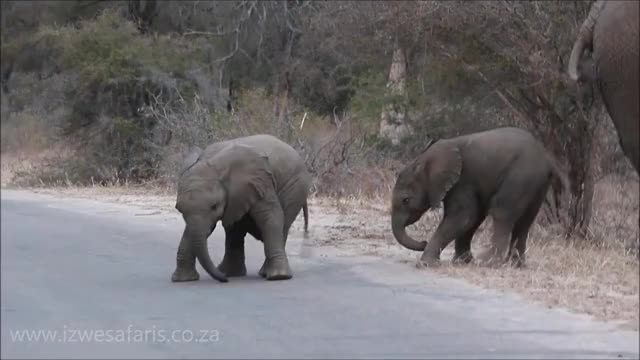 Watch Baby Elephants Having Fun... The Cutest Video Ever!!! GIF on Gfycat. Discover more baby elephants, elephants, kruger park GIFs on Gfycat