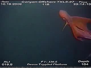 Watch and share Deep Sea Creatures GIFs and Blanket Octopus GIFs on Gfycat