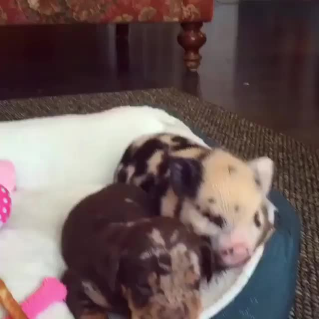 Watch and share Cuteanimals GIFs and Cutepetclub GIFs on Gfycat