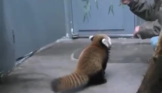 Watch this red panda GIF on Gfycat. Discover more Red Panda, red panda GIFs on Gfycat