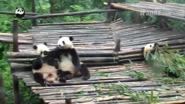 Watch Gimme that bamboo! (reddit) GIF on Gfycat. Discover more AnimalsBeingJerks, animalsbeingjerks GIFs on Gfycat