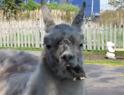 Watch llama(: GIF on Gfycat. Discover more llama GIFs on Gfycat