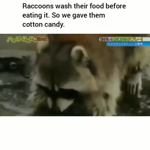 Watch racoon GIF on Gfycat. Discover more related GIFs on Gfycat