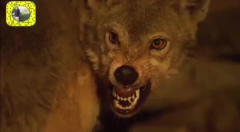 wolf, who is next GIFs