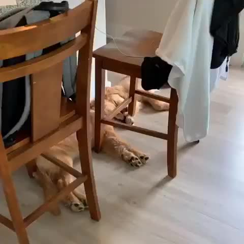golden retrievers, How these two sleep @miloandoaks on IG GIFs