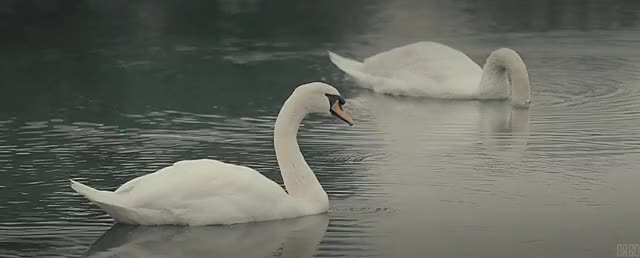 Watch and share Swans In Gifu, Japan. : Cinemagraphs GIFs on Gfycat