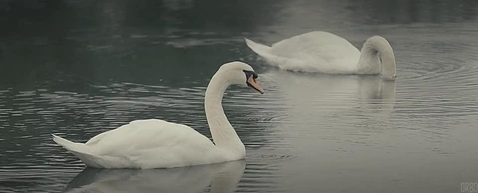 Swans in Gifu, Japan. : Cinemagraphs GIFs