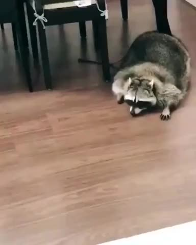 Watch and share Absolute Unit GIFs and Raccoon GIFs on Gfycat