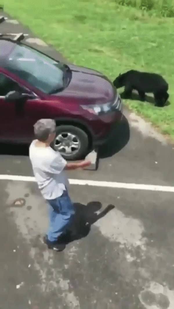 Watch and share Mamma Bear Crossing A Parking Lot With Cubs Forced To Tell A Persistent Human To Keep Their Distance. GIFs on Gfycat