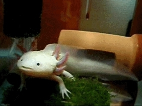 adorable, asklillyandfriends, asklillyandpals, axolotl, cute, i'm dieing from to much cute, wooper, animalplanet GIFs
