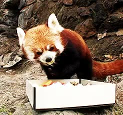 Happy Friday! I present to you my full collection of adorable Red Panda gifs GIFs