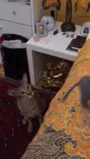 Watch and share Oriental Shorthair GIFs and Siamese Cat GIFs on Gfycat