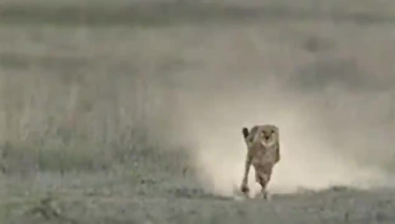 How a cheetah uses its tail to mirror its prey's changes in direction GIFs