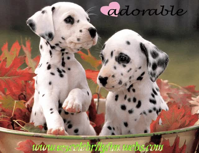 Watch and share Dalmatian GIFs on Gfycat