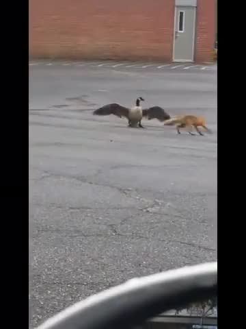 Watch and share Fox Vs Goose GIFs on Gfycat