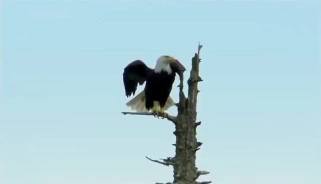 Watch Bald Eagle catches salmon GIF on Gfycat. Discover more related GIFs on Gfycat