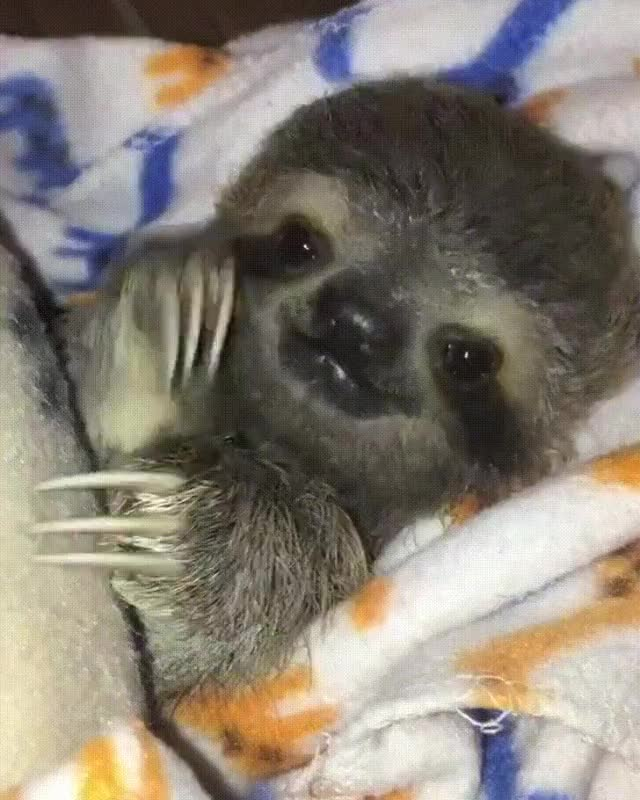 Watch and share Baby Sloth GIFs by ImaAnimal on Gfycat