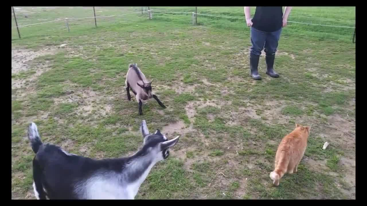 /r/goatgifs- video from Fermette Douce Sérénité GIFs